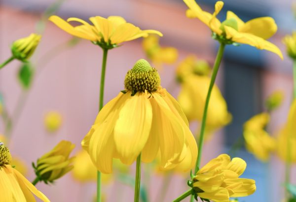 Free Stock Images - yellowflowerpetals ed gregory